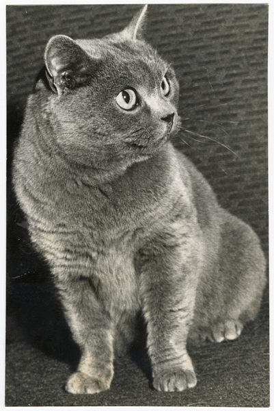 Award winning British blue cat
