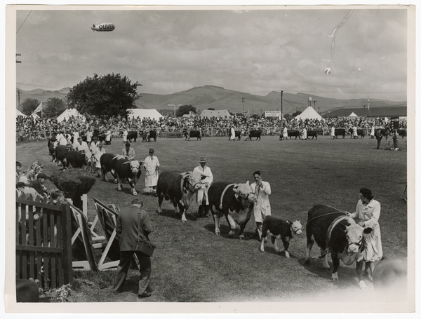 Cattle at the Royal Show