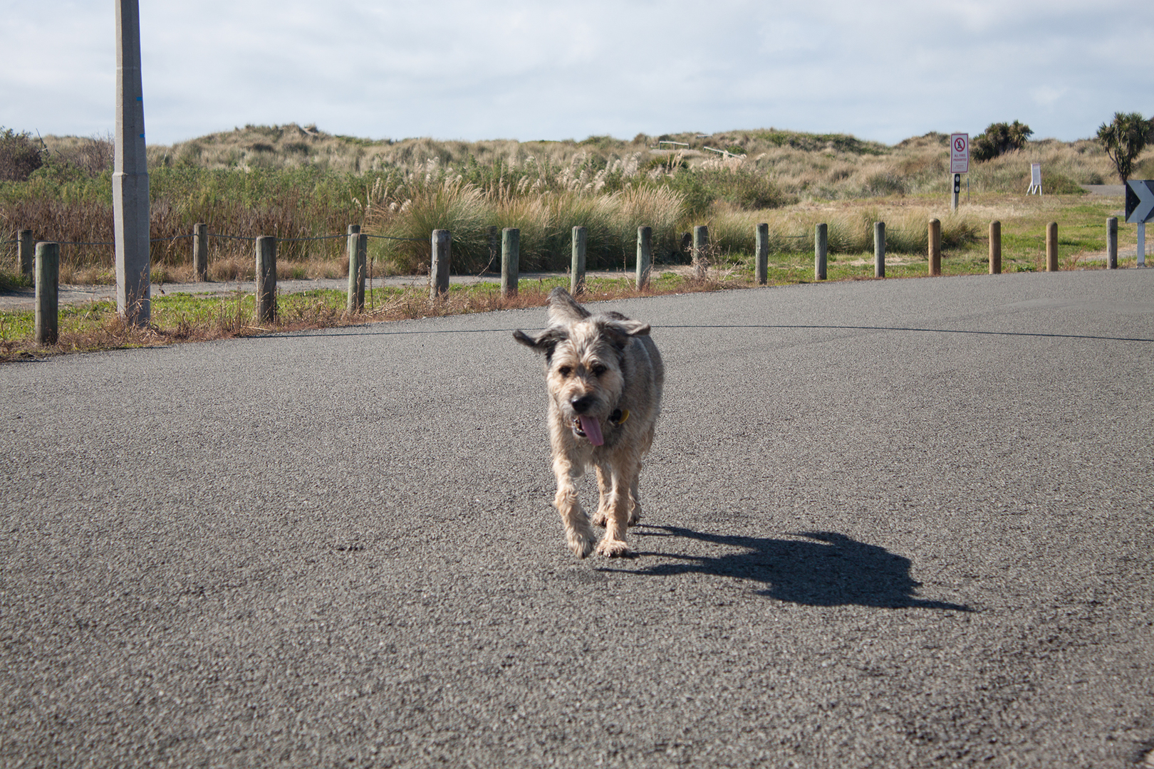 Roger's dog, Aston Drive, Waimairi Beach