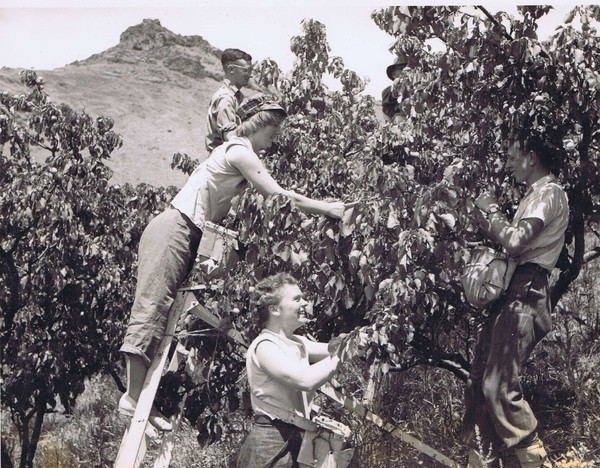 Picking apricots in the Horotane Valley