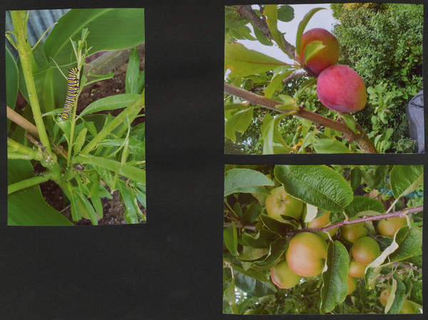 3 photos of Fruit - caterpiller, peaches, apples