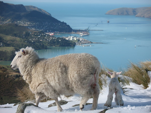 A snowy encounter with a relatively newly born lamb on the Port Hills