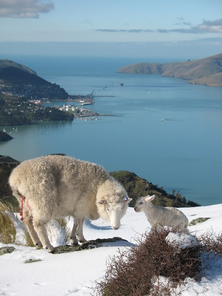 Proud mother sheep inspects her lamb on the Port Hills during snow