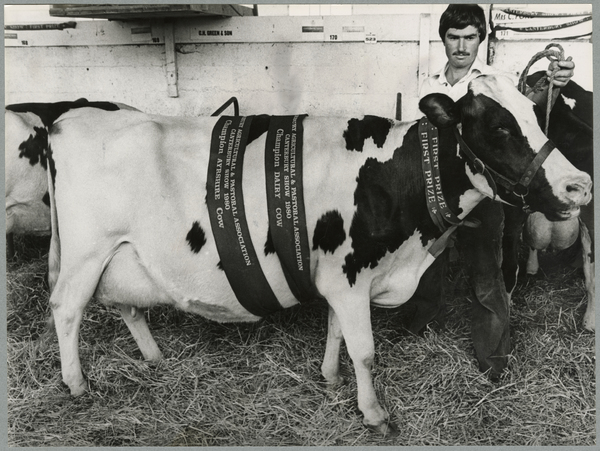 1980 Champion Dairy Cow