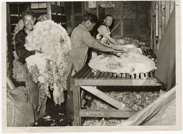 Sheep fleece being rolled