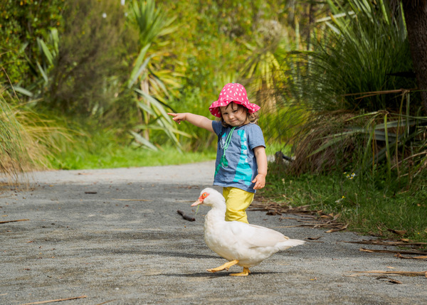 A toddler helps a duck to cross the road
