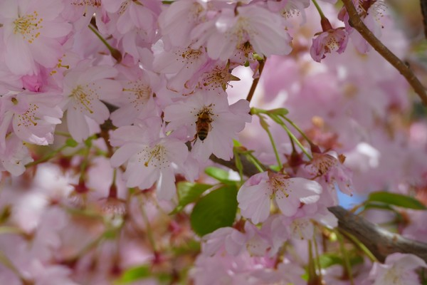 Bee On Cherry Blossom Tree