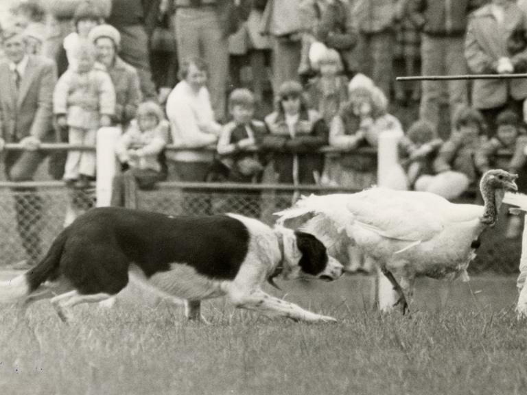 Image of sheepdog and turkeys at the A&P show